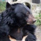 Farewell Maggie: Rescued moon bear sleeps forever under the stars after losing battle with sudden illness