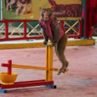 Hanoi Zoo closes its animal circus - join Animals Asia in saying THANK YOU