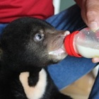 Trafficked bear cub found in backpack now safe in sanctuary