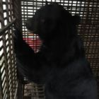 Breaking News: Animals Asia rescue team set to free 200th bear from bile farm cruelty in Vietnam