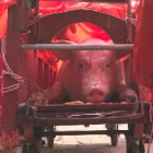 Revellers turn their backs on cruelty of Vietnam pig festival