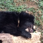 PICS: From bile farm cruelty to sweet dreams for amazing nest building bears