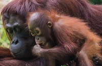 #InternationalOrangutanDay: When taken away from their incredible single mothers, orangutan young become problem children