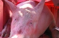 Five things you need to know about the Nem Thuong Pig Slaughter Festival