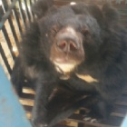 BREAKING NEWS: Race against time to free four bears from bile farms