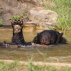 VIDEO: He was obese, caged and lonely, now swimming makes rescued bear happy
