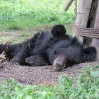 These sleepy bears have just woken up in the year of the rooster – four months late