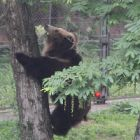 Brown bears can't climb? Watch this, says Poupouce
