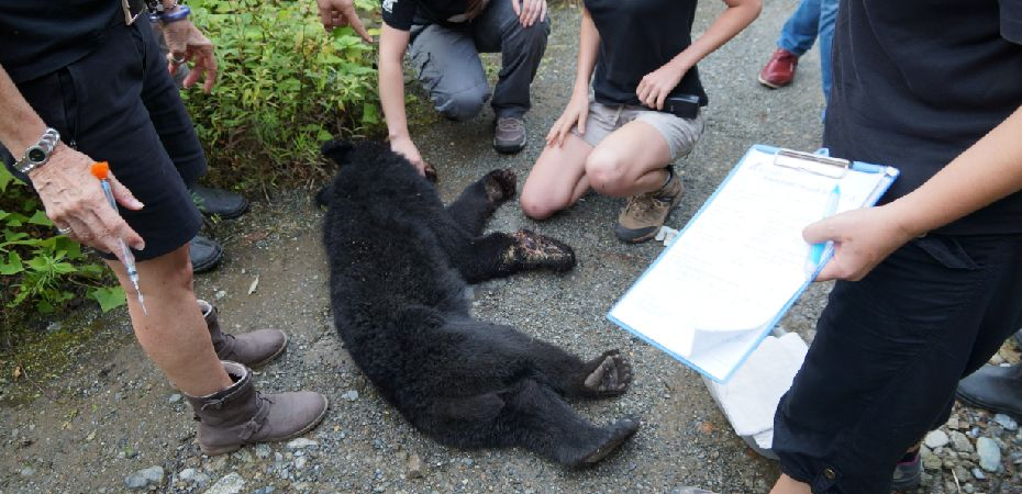 Young bear rescued after she tried to chew through her paw to escape trap