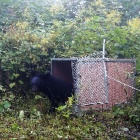 VIDEO: See rescued moon bear Rainbow returned to wild in China