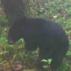 Three-legged bear released into the wild spotted alive and well on camera