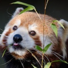 Red Pandas: The amazing animal absolutely dependent on a small, fragile ecosystem at risk from human development