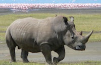 Mud baths and feathered friends: Rhinos love their solitary lives but for how much longer?