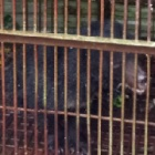 BREAKING NEWS: Captive moon bear being rescued right now in Vietnam