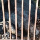 Sick rescued moon bear Rocky arrives home to sanctuary