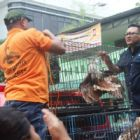 Protected species rescued as Indonesian hotel is struck by second wildlife raid