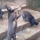 International spotlight means hope for Indonesia's Bandung Zoo bears