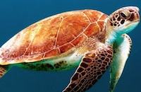 Sea turtles: Animal kingdom's greatest navigators map the world's oceans through magnetic fields