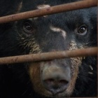 Chinese politician publicly calls for complete end to bear bile farming