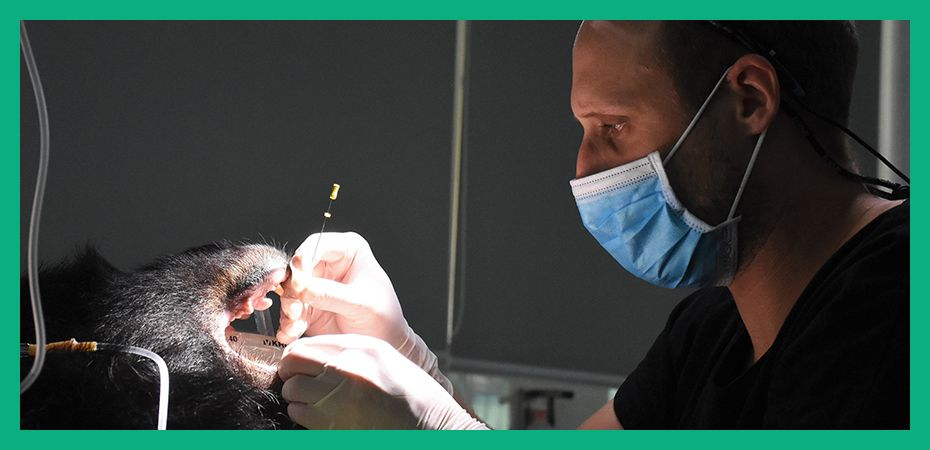 Staff at our Vietnam Bear Rescue Centre perform the first 'in-house' root canal surgery on a resident bear!