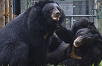 Rescued bears finally get their happily-ever-after moment following rescue from bile farm hell
