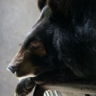 A bear bile farm has finally taken Sophie's sight – but not her life