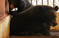 Two endangered moon bear cubs safe in sanctuary after rescue from Vietnamese circus