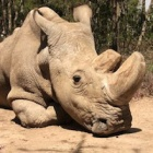 The last male northern white rhino has died – here's why it matters to you