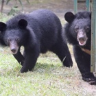 Caught on camera: the joyous moment two bear cubs step on grass for first time after rescue from circus cruelty