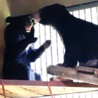 How fun and games are helping two rescued bear cubs overcome circus trauma