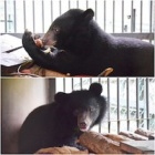 First pictures of rescued bear cubs Sugar and Spice in new sanctuary hom