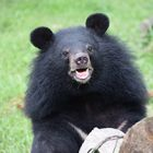 Circus trauma left moon bear cub Sugar too scared to eat, but in sanctuary life grows sweeter every day