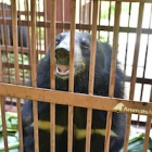Four more bears rescued by Animals Asia in Vietnam bringing total to 209