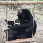For rescued bears, a swing is a slice of heaven