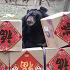 Happy Lunar New Year! It's the year of the rat at the Chengdu Rescue Centre and the bears in Vietnam are celebrating Tết!