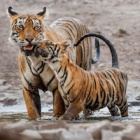 #InternationalTigerDay: What big cat play can teach us about morality
