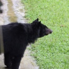 You did it! Watch six rescued bears take their first steps outside