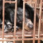 Why bear bile farming persists in Vietnam