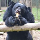 Recently rescued bears Valarie and Tuan make a fine pair!