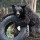 Disabled bears go from bile farm cages to playing in the sun