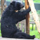 He's gone but this rescued bear will still be seen by thousands every day