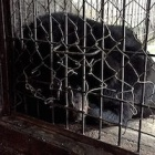 BREAKING NEWS: over a decade caged - moon bear Bao Lam's rescue is happening right now