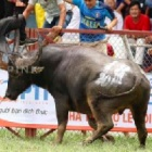 Can Vietnam take a lead in ending bull and buffalo fighting?