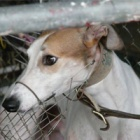 Animal welfare activists unite against dog racing