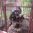 BREAKING NEWS: Animals Asia rescue seven more bears from bile farms in Vietnam