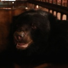 #FiveLives: Pain ends and new hopes emerge for five bears rescued from bile farm cruelty