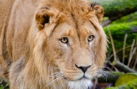 #LionAwarenessWeek: Social complexity hints at scale of big cats' intellectual prowess