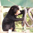 These four sun bears were all destined for life in a cage – look at them now