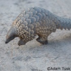 World Pangolin Day: natural recyclers, keepers of the soil – and the world's most trafficked animal