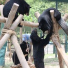 A sanctuary meeting of moon bear groups